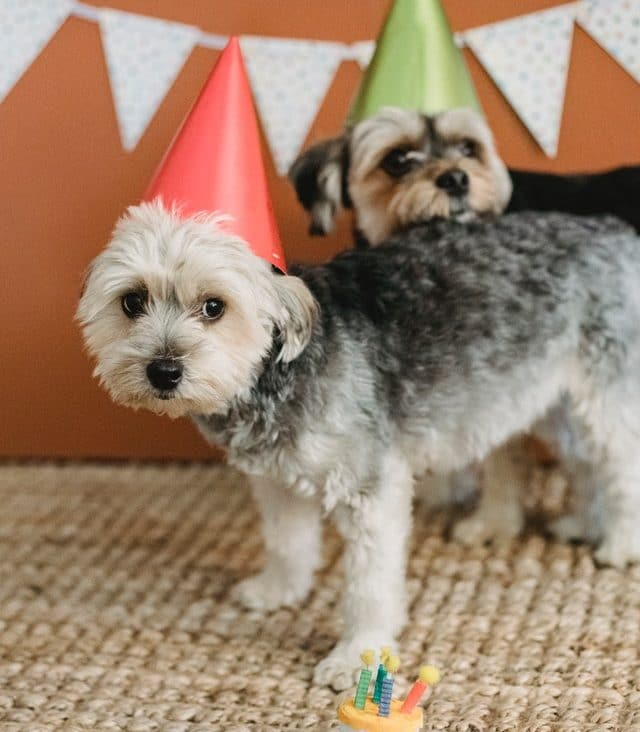 Cute little dogs in birthday party hats
